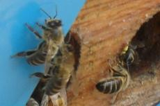 Bees - Detailed Information